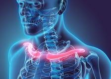 3D ejemplo de la clavícula, concepto médico Imagen de archivo libre de regalías