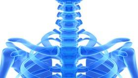 3D ejemplo de la clavícula, concepto médico Imagen de archivo