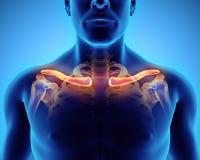 3D ejemplo de la clavícula, concepto médico Fotos de archivo