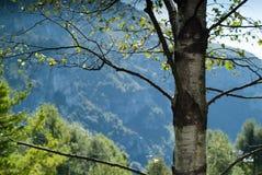 D'Erna Birch Tree de Piani Imagenes de archivo