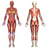 3D  female body anatomy Stock Image