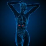 3d framför den medicinska illustrationen av den mänskliga binjurar Royaltyfri Bild