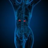 3d framför den medicinska illustrationen av den mänskliga binjurar Arkivfoto