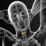 3d framför den medicinska illustrationen av sköldkörteln Arkivfoton