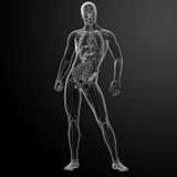 3d framför mänsklig anatomi Arkivbild