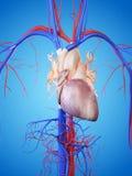 3D framförde den anatomical illustrationen royaltyfri illustrationer