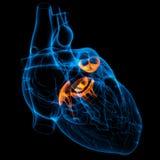 3d framför hjärtaventilen Arkivfoto