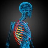 3d geef medische illustratie van ribcage terug Stock Afbeelding