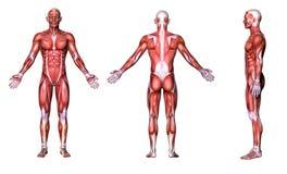 3D geef terug: een illustratie van een mannelijk model met spierweefsels Royalty-vrije Stock Afbeelding