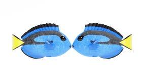 3D geef van Blauw Tang Fish terug Royalty-vrije Stock Afbeeldingen
