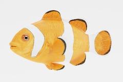 3d geef van Clownfish terug Stock Foto's