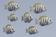 3d geef van Convict Tang Fish terug Stock Foto