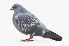 3d geef van duif terug Stock Afbeeldingen