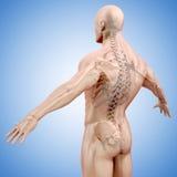 3d geef van menselijk lichaam en skelet terug Stock Afbeeldingen