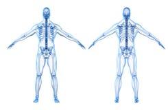 3d geef van menselijk lichaam en skelet terug Stock Fotografie