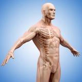 3d geef van menselijk lichaam en skelet terug Royalty-vrije Stock Afbeelding