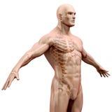 3d geef van menselijk lichaam en skelet terug Stock Foto's