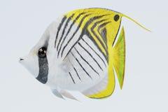 3D geef van Threadfin Buterflyfish terug Royalty-vrije Stock Foto