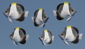 3D geef van Zwarte Piramide Butterflyfish terug Stock Foto