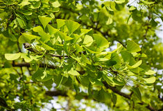 3d ginkgo wysokiego ilustracyjnego postanowienia drzewny biel Fotografia Royalty Free