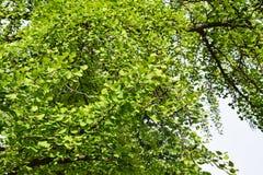 3d ginkgo wysokiego ilustracyjnego postanowienia drzewny biel Obraz Stock