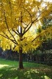 3d ginkgo wysokiego ilustracyjnego postanowienia drzewny biel Zdjęcie Stock