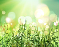 3D green wheat on bokeh lights background. 3D render of green wheat on a sunny bokeh lights background Royalty Free Stock Photography