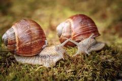 D'hélice de pomatia escargot romain également, escargot de Bourgogne Images stock