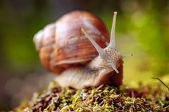 D'hélice de pomatia escargot romain également, escargot de Bourgogne images libres de droits