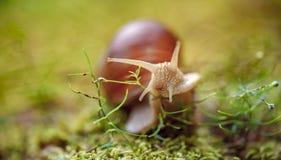 D'hélice de pomatia escargot romain également, escargot de Bourgogne image stock