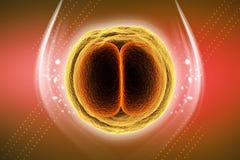 3d ha reso la divisione cellulare dello zigote isolata sul fondo di colore fotografie stock