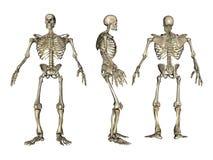 3D ha reso lo scheletro Immagine Stock
