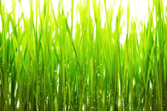 D'herbe verte et d'eau de frops fond blanc à la place Image libre de droits