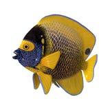 3D het Teruggeven blueface zeeëngel op Wit Royalty-vrije Stock Afbeelding