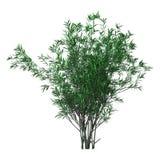 3D het Teruggeven Bush Oleander op Wit Stock Foto's
