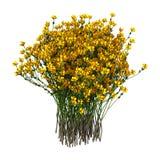3D het Teruggeven Genista Hispanica Bloemen op Wit Royalty-vrije Stock Foto's