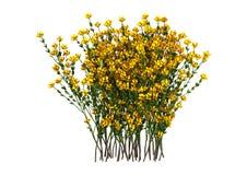 3D het Teruggeven Genista Hispanica Bloemen op Wit Royalty-vrije Stock Afbeelding