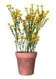 3D het Teruggeven Genista Hispanica Bloemen op Wit Royalty-vrije Stock Fotografie