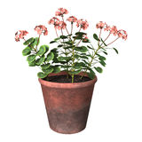 3D het Teruggeven Geraniumpot op Wit Royalty-vrije Stock Foto