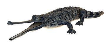 3D het Teruggeven Gharial Krokodil op Wit Royalty-vrije Stock Afbeelding