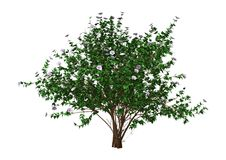 3D het Teruggeven Hibiscus Bush met Bloemen op Wit Stock Fotografie