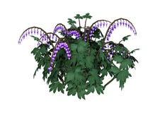 3D het Teruggeven Lamprocapnos Bloemen op Wit Stock Fotografie