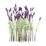 3D het Teruggeven Lavendelbloemen op Wit Royalty-vrije Stock Afbeelding