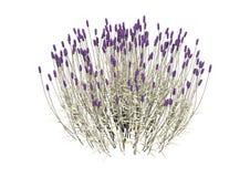 3D het Teruggeven Lavendelbloemen op Wit Royalty-vrije Stock Foto