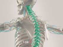 3D human anatomy. Human anatomy illustrated in 3D highlighting chronic back pain Royalty Free Stock Photo