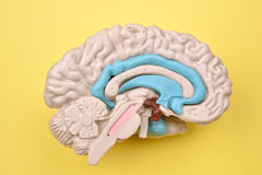 3D human brain model details from inside on yellow background Stock Photo