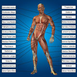 3D human male anatomy with muscles and text Royalty Free Stock Image