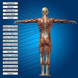 3D human male anatomy with muscles and text. On blue background Royalty Free Stock Photos