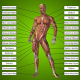 3D human male anatomy with muscles and text Stock Image