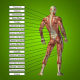 3D human male anatomy with muscles and text. On green background royalty free illustration